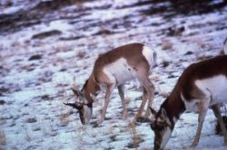 Pronghorn antelope in snow Photo