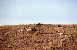 Pronghorn antelope buck & harem of does Photo