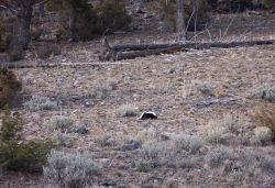 Skunk near Geode Creek Photo