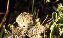 Meadow vole Photo