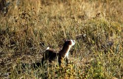 Blackfooted ferret Photo