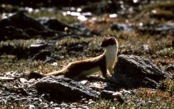 Short tailed weasel Photo