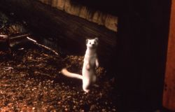 Ermine in winter phase - short tailed weasel Photo