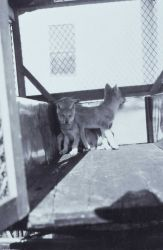 Three wolf pups in a cage a Mammoth Hot Springs Photo