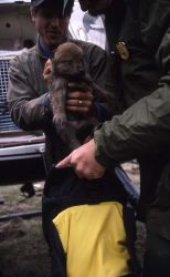 Wildlife biologist Doug Smith placing one of -9's wolf pups in backpack at the Rose Creek pen Photo