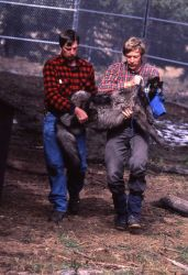 Mark Johnson & biologist Rolph Peterson carry drugged wolf pup -23 to processing area Photo