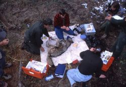 Doug Smith, Mark Johnson, Jim Peaco & Carrie Shaffer with female wolf 17 at Rose Creek pen for health exam prior ro release - drew blood for disease t Photo