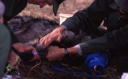 Mike Phillips taking blood sample from a wolf Photo