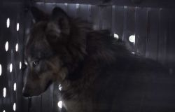 Wolf -7 in shipping container Photo
