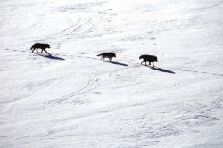 Aerial of the Leopold wolf pack Photo