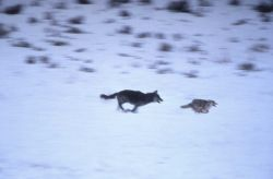 Wolf chasing coyote Photo
