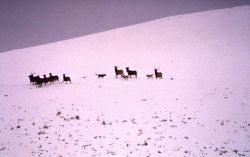 Wolves on elk herd Photo