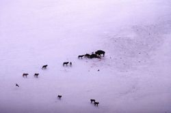 Wolves on bison kill with another bison standing by Photo
