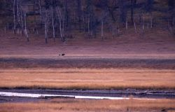 Wolves & grizzly bear in Lamar Valley Photo