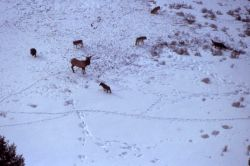 Aerial of the Chief Joseph wolf pack surrounding a bull elk Photo
