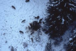 Aerial of the Druid wolf pack on bull elk carcass (elk had broken leg) Photo