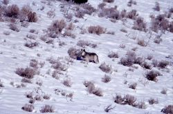 Druid alpha male wolf -21 - Soda Butte Photo