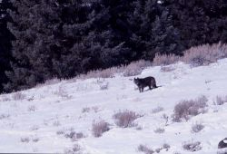 Wolf from the Druid pack - Soda Butte Photo