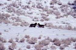 Two wolves from the Druid pack nose to nose - Soda Butte Photo