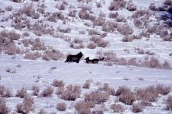 Two wolves from the Druid pack posturing - Soda Butte Photo
