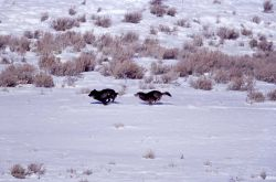 Two wolves from the Druid pack - one chasing the other - Soda Butte Photo