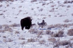 Druid wolf -21 & other pack members near bison - Soda Butte Photo