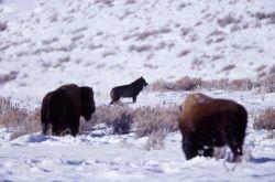 Wolf near bison Photo