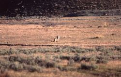 Wolf & coyote near carcass at Tower Junction Photo