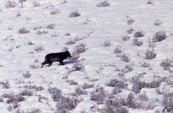Druid wolf - near Soda Butte Photo