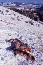 Elk calf carcass killed by wolves on Capitol Hill in Mammoth Hot Springs with the Administration buildings in the background Photo