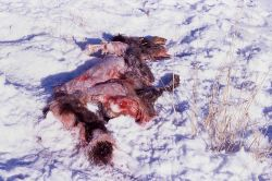 Elk calf killed by wolves on Capital Hill in Mammoth Hot Springs Photo