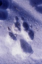 Wolf track in the snow on Capitol Hill in Mammoth Hot Springs Photo