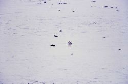 Wolves howling at Little America Flats Photo