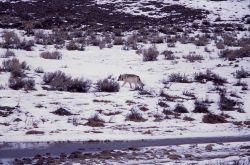 Wolf at Blacktail Lakes Photo