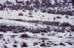 Wolf at Blacktail Lakes Photo