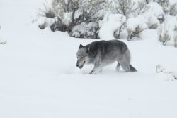 Black & grey female wolf from the Druid pack in snow near Lamar River bridge - named