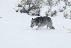 Black & grey female wolf from the Druid pack in snow near Lamar River bridge - named