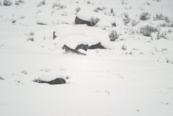 Grey wolf at Little America Flats Photo