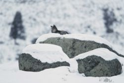 Wolf lying on glacial erratic at Little America Flats Photo