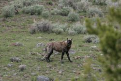 Wolf -270F (Leopold Pack) near Blacktail Pond Photo