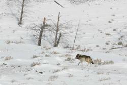 Wolf near Blacktail Pond Photo