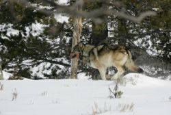 Wolf near Blacktail Pond Photo