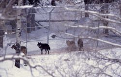 Wolves in the Crystal Bench pen Photo