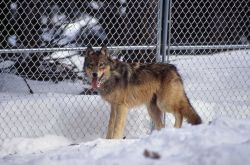 Wolf -7 in the Rose Creek pen Photo