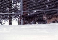 Wolf -7 & -9 in the Rose Creek pen Photo