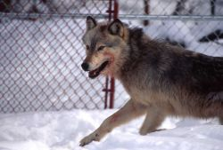 Wolf -10 in the Rose Creek pen Photo