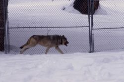 Wolf in the Soda Butte pen Photo
