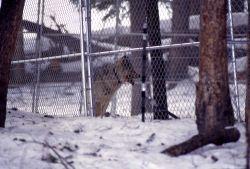 Wolf in the Soda Butte pen Photo