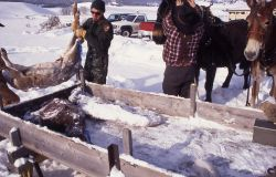 Loading deer carcass for wolves at Crystal Bench pen Photo