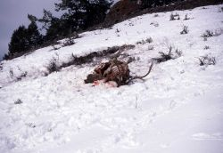 Bull elk killed by wolves Photo